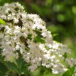 Duftende Holunderblüten